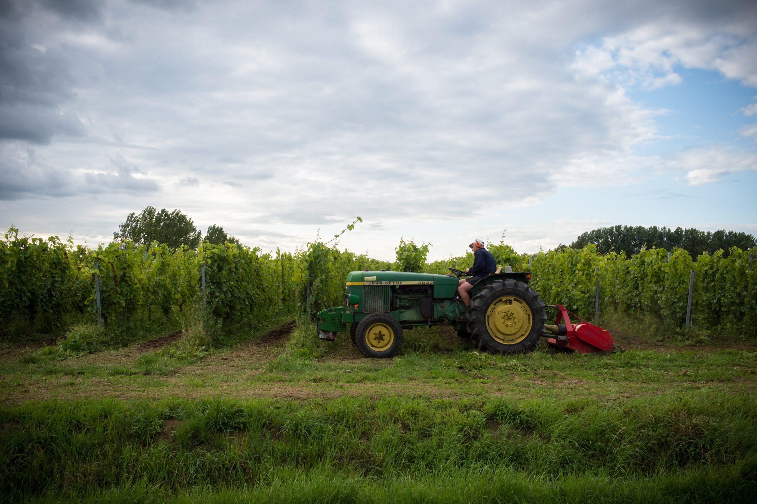 Wijnbouw in Oost-Vlaanderen